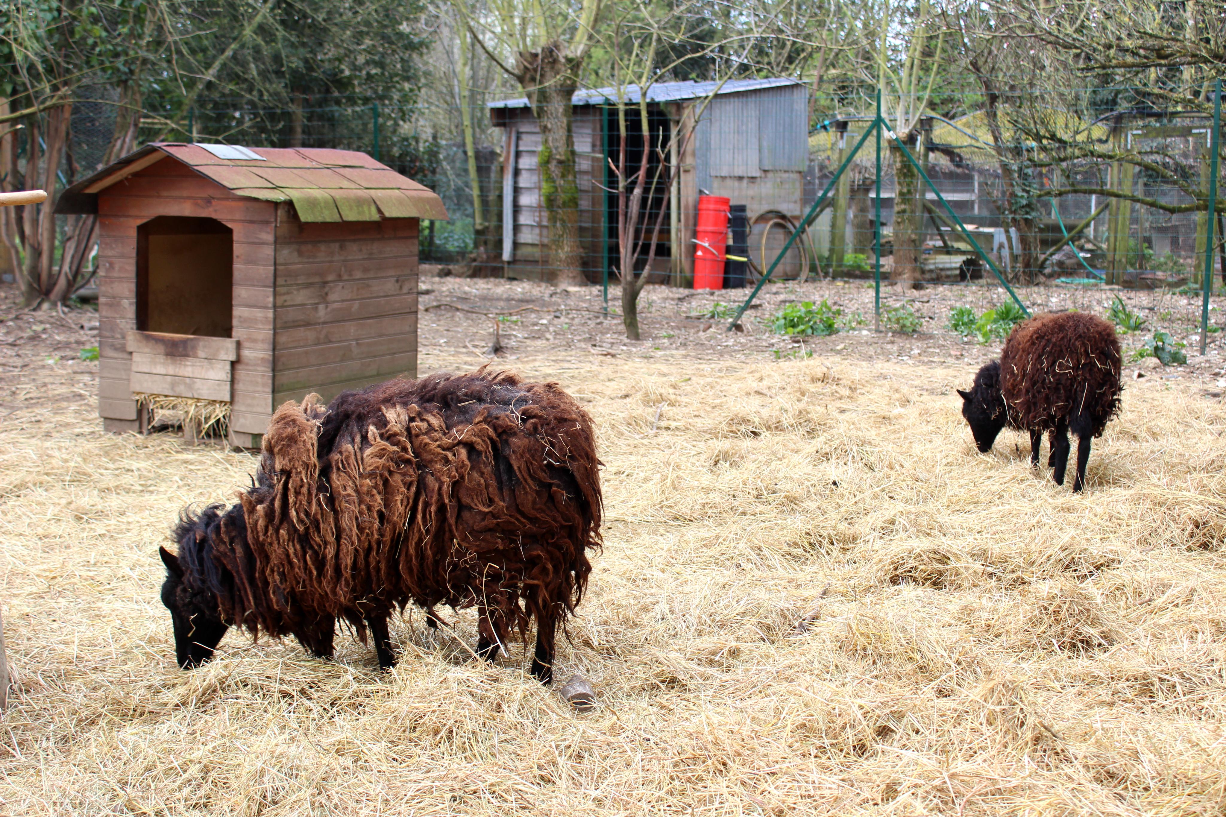 Moutons - Association de l'homme à l'animal